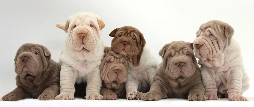 Six Shar Pei pups